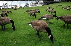 Geese, Riverside Park