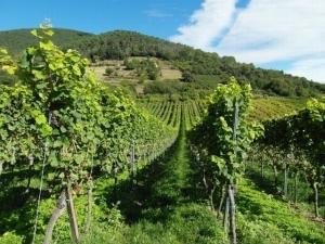 vineyards-2